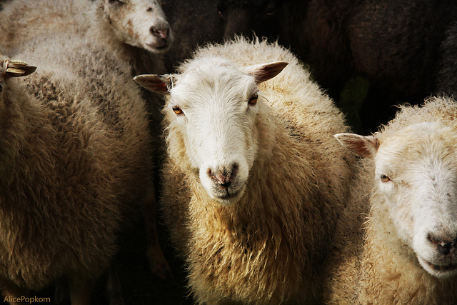 """Sheep,"" by Alice Popkorn.  (Used under Creative Commons license CC BY-ND 2.0.)"
